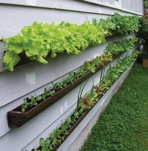 container-gardening-lettuce-vertical-wall-gutters-photo
